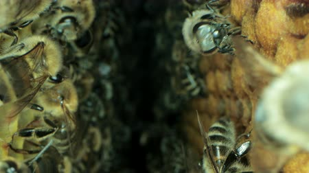 worker bees : Busy bees inside the hive with open and sealed cells for sweet honey