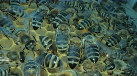 опылять : Busy bees inside the hive with open and sealed cells for sweet honey