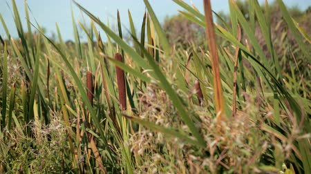 cattail : dried rush and reed cattails swamp grass high the nature landscape outdoors Stock Footage