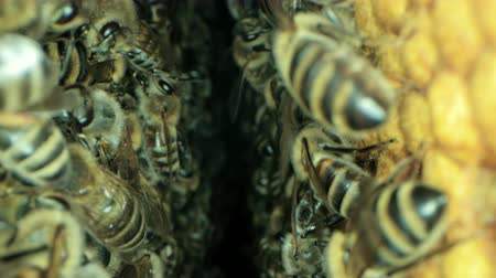 honey comb : Busy bees inside the hive with open and sealed cells for sweet honey