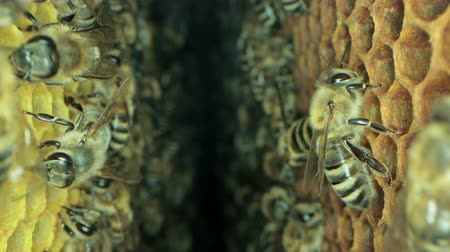 honeybee : Busy bees inside the hive with open and sealed cells for sweet honey