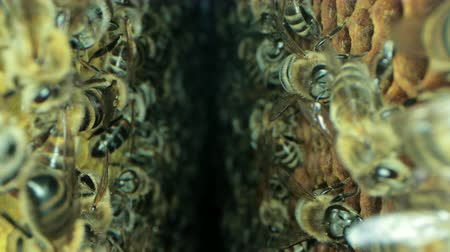 kolektivní : Busy bees inside the hive with open and sealed cells for sweet honey