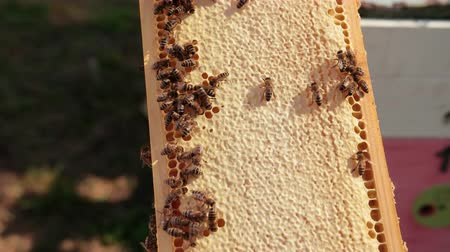 worker bees : Honey bees crawl on honeycombs. A honeycomb full of honey