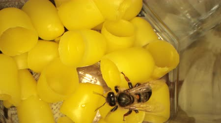ハッチ : many yellow beeswax for hatching bees, flying bees in the frame