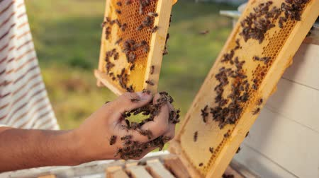 tartás : man beekeeper checks honeycomb and collects bees by hand