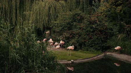 greater : zoo, very beautiful nature, many different trees and bushes, near the lake walk and eat a lot of pink flamingos, summer day Sunny weather, slow motion Stock Footage