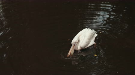 vnitrozemí : zoo, very beautiful nature, many different trees and bushes in the lake swims white Pelican, drinking water, around a lot of fallen leaves, summer day Sunny weather, slow motion Dostupné videozáznamy