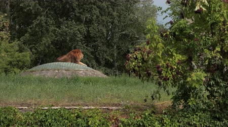 feroz : zoological gardens, very beautiful nature, many trees and bushes, on a large stone is a lion, summer day Sunny weather, slow motion Vídeos