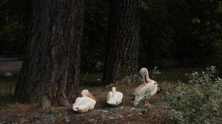 vnitrozemí : zoological gardens, very beautiful nature, near the trees resting three white pelicans, wash, yawn, summer day clear weather, slow motion