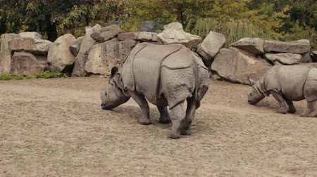 white rhino : zoological gardens, very beautiful nature, a lot of trees and bushes, walking two rhinos eat small grass, around the fence of large stones summer day clear weather, slow motion Stock Footage