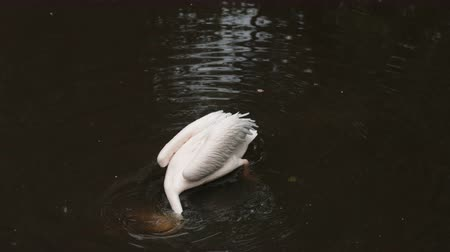 vnitrozemí : zoological gardens, very beautiful nature, white Pelican swims in the lake, drinking water and diving with his head, around a lot of fallen leaves, summer day clear weather, slow motion