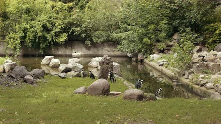 pinguim : zoo, very beautiful nature, many different trees and bushes, near the lake walk a lot of little penguin, around a lot of big stones, summer day Sunny weather, slow motion