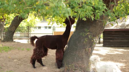 alpaga : zoological gardens, very beautiful nature, a lot of trees and bushes, walking two llamas brown and white, eating leaves from tree, around fence, flying birds, summer day clear weather, slow motion