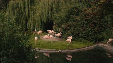 chilean flamingo : zoo, very beautiful nature, many different trees and bushes, near the lake, where a duck swims, walk and eat a lot of pink flamingos, pigeons fly, summer day Sunny weather, slow motion Stock Footage