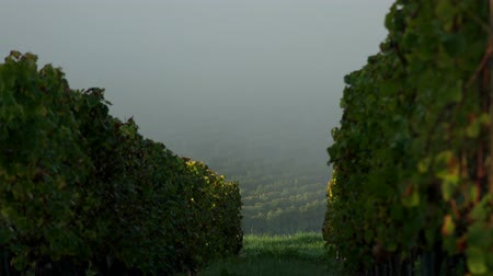 цвет бордо : Vineyard landscape-Vineyard south west of France, Sauternes