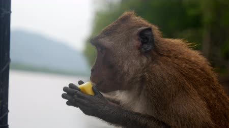 south asian food : Monkey eating food from human tourist, Thailand