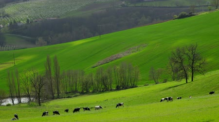 Herd of cows on pasture, lot et garonne, 47, france Wideo