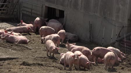 klatka : Pig farm with many pigs Wideo