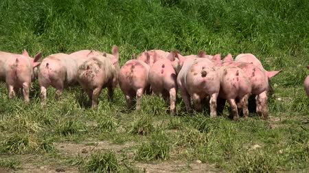 piglet : Pig farm with many pigs Stock Footage
