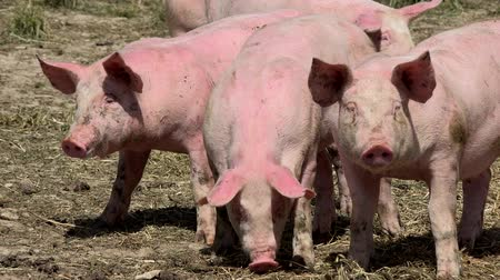 porquinho : Pig farm with many pigs Stock Footage