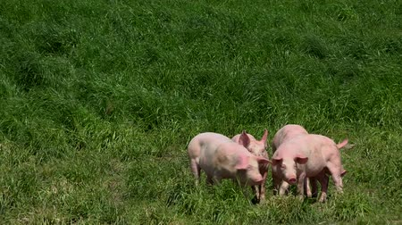 memeliler : Pig farm with many pigs Stok Video