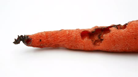 grotesque : a rotten carrot bite by insect
