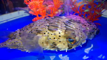 underwater video : two Pufferfish swimming in  a fish tank 4K