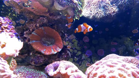 underwater video : clown fish swimming in a tank with coral 4K