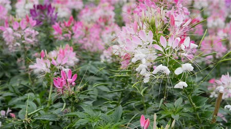 prickly : Cleome spinosa