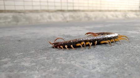 antennae : giant size centipede on the road and then irritated by a metal bar