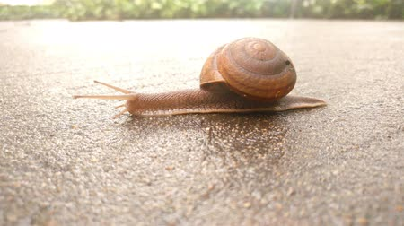 měkkýš : snail crawling on a wet concrete floor