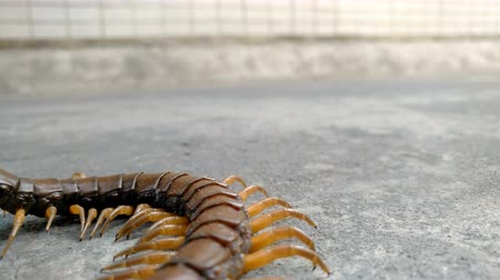 antennae : giant size centipede on the road and being trampled Stock Footage