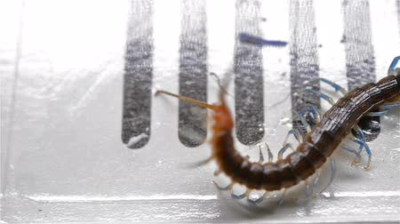 dikenli : centipede struggling and trying to get out of a bug catcher