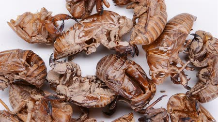 slough : top view Chinese herbs of Cicadae Periostracum or Cicada Slough stop and rotate on white background Stock Footage