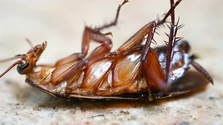 poisoned : poisoned cockroach being bit by ants and struggling on the ground Stock Footage