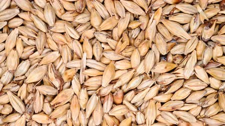 top view herb medicine ChaoMaiYa or stir-baked Hordei Fructus Germinatus or Barley Sprout rotate and pause