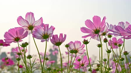compositae : low angle view of beautiful daisy or Cosmos bipinnata Cav