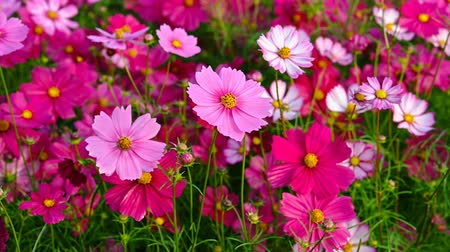 compositae : angle view beautiful and colorful daisy or Cosmos bipinnata Cav Stock Footage