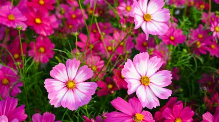 compositae : top view beautiful and colorful daisy or Cosmos bipinnata Cav