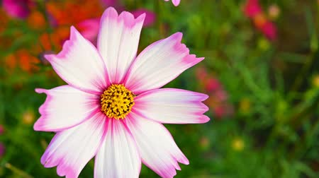 compositae : multi-color daisy or Cosmos bipinnata Cav close up Stock Footage