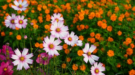 compositae : beautiful and colorful daisy or Cosmos bipinnata Cav