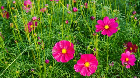 compositae : rose red daisy or Cosmos bipinnata Cav Stock Footage