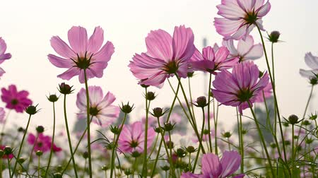 compositae : low angle view of beautiful daisy or Cosmos bipinnata Cav 2