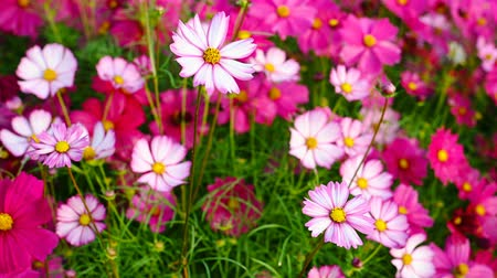 compositae : multi-color daisy or Cosmos bipinnata Cav