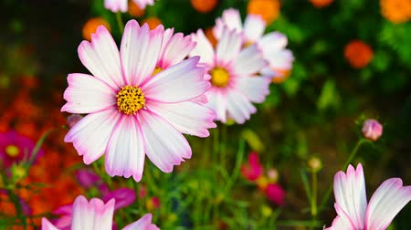 top view multi-color daisy or Cosmos bipinnata Cav close up