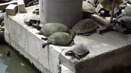 Turtles sunbathing on concrete structure. Animals in urban life Vídeos