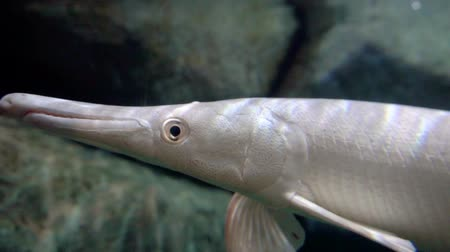 szczupak : Pike albino in aquarium. Marine life