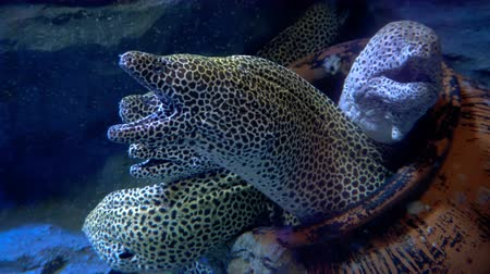 купание : Moray eel in aquarium. Marine life Стоковые видеозаписи