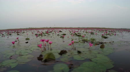 flor de loto : Flotando en Red Lotus Lake