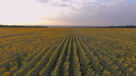 Golden sunset over a field of sunflowers. Agriculture